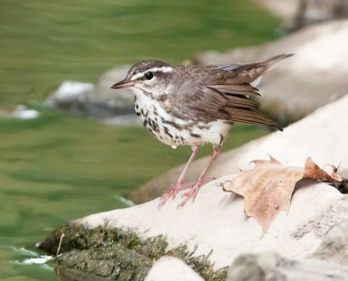 photo_LAwaterthrush