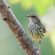 photo_Nwaterthrush