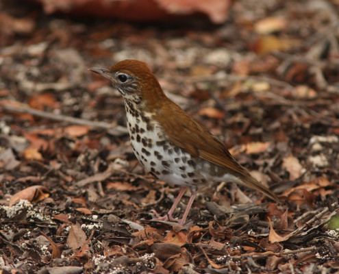 photo_woodthrush2